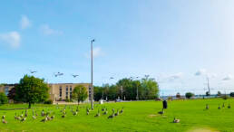 Canadian-geese-in-the-schoolyard-Ecole-Cite-des-Jeunes