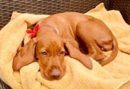 my new vizsla puppy and a few tips and tricks